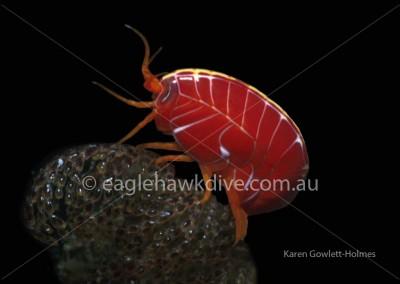 eaglehawk-dive-centre-amaryllus-amphipod