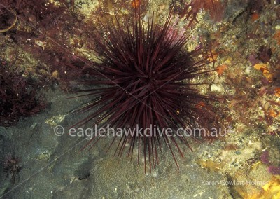 eaglehawk-dive-centre-centrostephanus-rodgersii-3-5