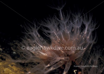 eaglehawk-dive-centre-clavularia-3-8-NTM-C13573