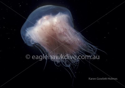 eaglehawk-dive-centre-cyanea-rosella-1-1-lg