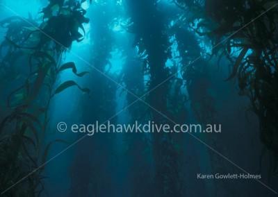 eaglehawk-dive-centre-kelp-1-20-KL-Gowlett-Holmes
