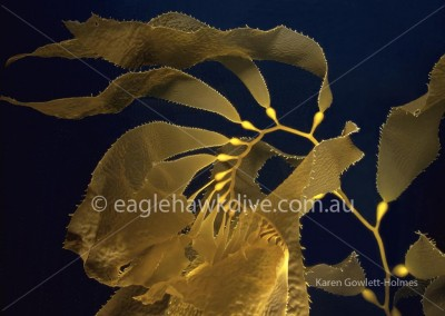 eaglehawk-dive-centre-macrocystis-pyrifera-1-71