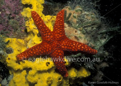 eaglehawk-dive-centre-nectria-saoria-2-1-lg