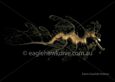 eaglehawk-dive-centre-phycodurus-eques-2-2