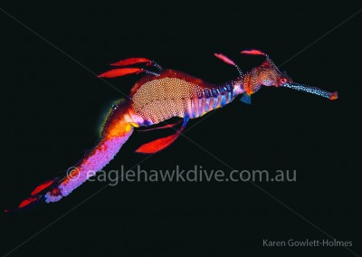 eaglehawk-dive-centre-phyllopteryx-taeniolatus-whole-C162