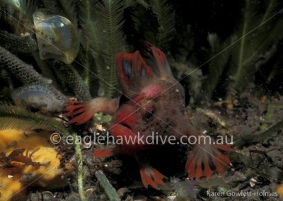 eaglehawk-dive-centre-red-Handfish-1-65
