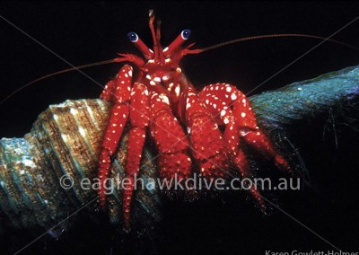eaglehawk-dive-centre-strigopagurus-strigimanus-2-1-T